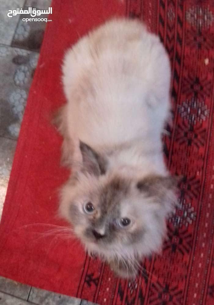 قطه هملايا ب 150