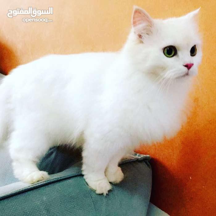 قطه شيرازي جاهزة للتزاوج كثيفة الشعر وجميلة جدا وهادئة جداااا