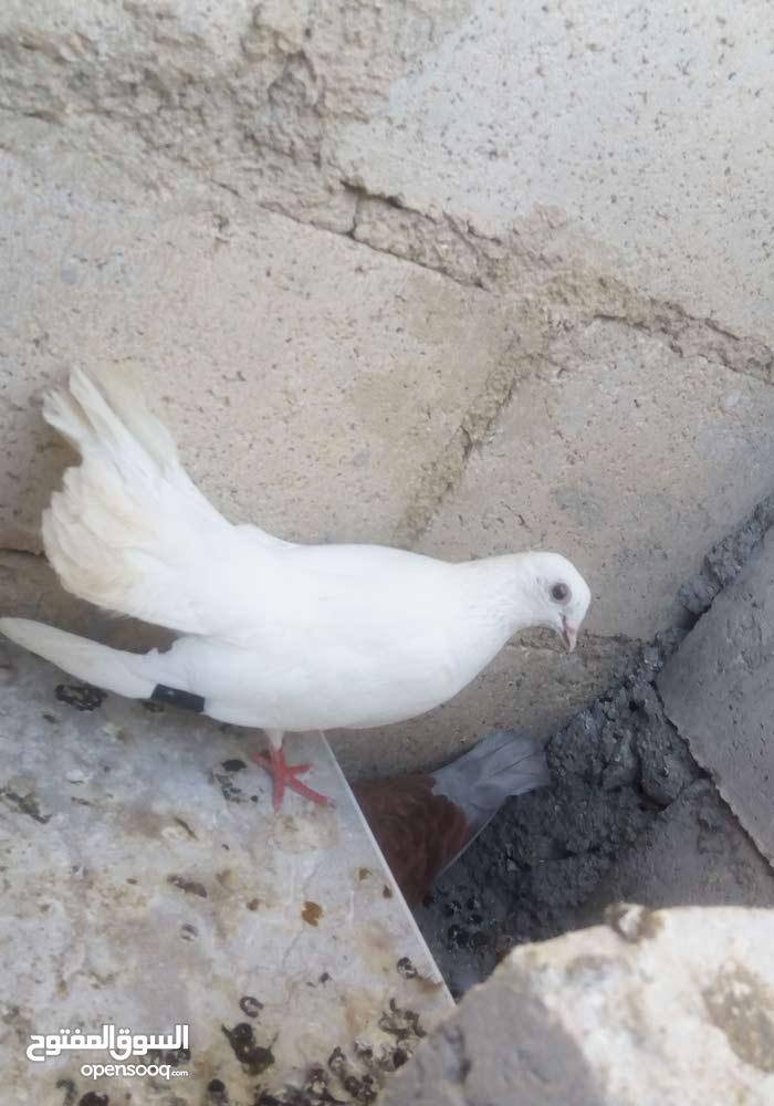 أنثاي نوريه لون أبيض للبيع  أربد دوقرا