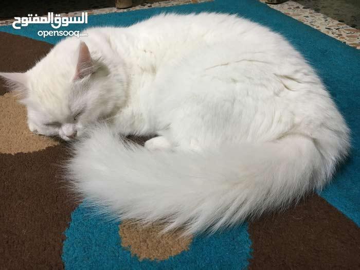 قطة أنغورا بيضاء