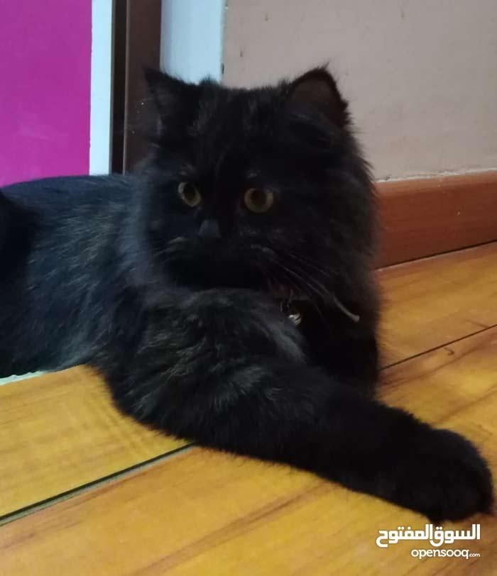 قطه شيرازي  بيور لون اسود