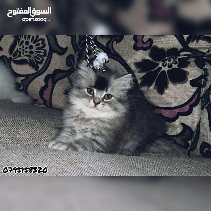 قطط شانشيلا للبيع