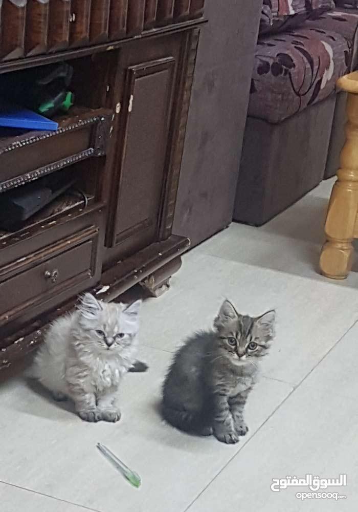 قطة انثى همالايا
