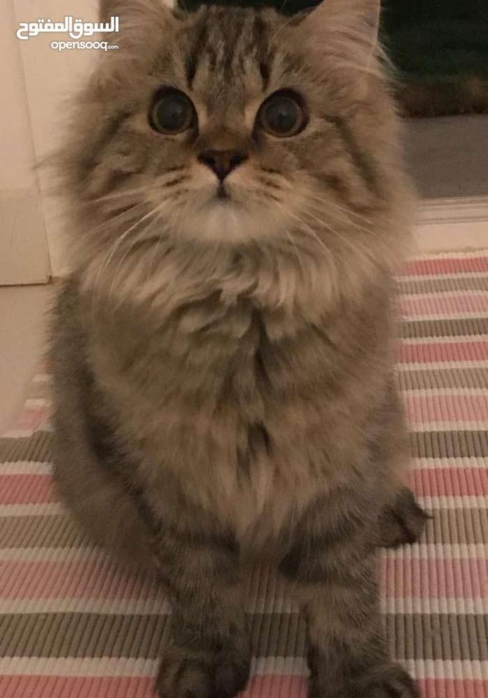 قطه شيرازي لونها رمادي