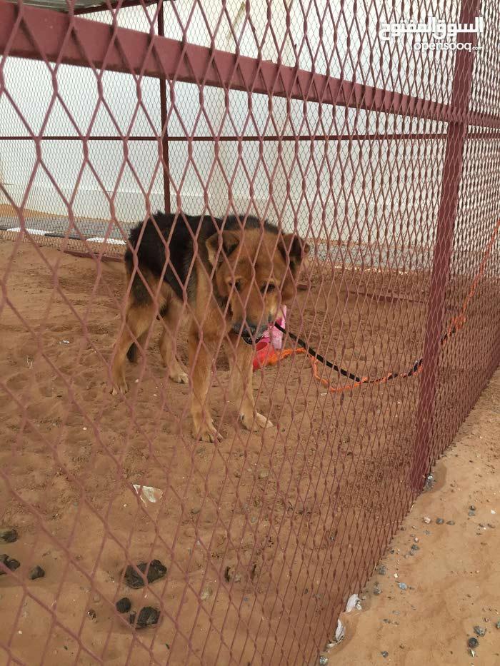 كلب جيرمن العمر8 سنوات ذكر وقابل لتفاوض