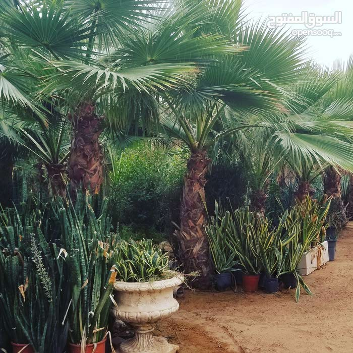 date palm trees for sale with home delivery and planting 0561513145