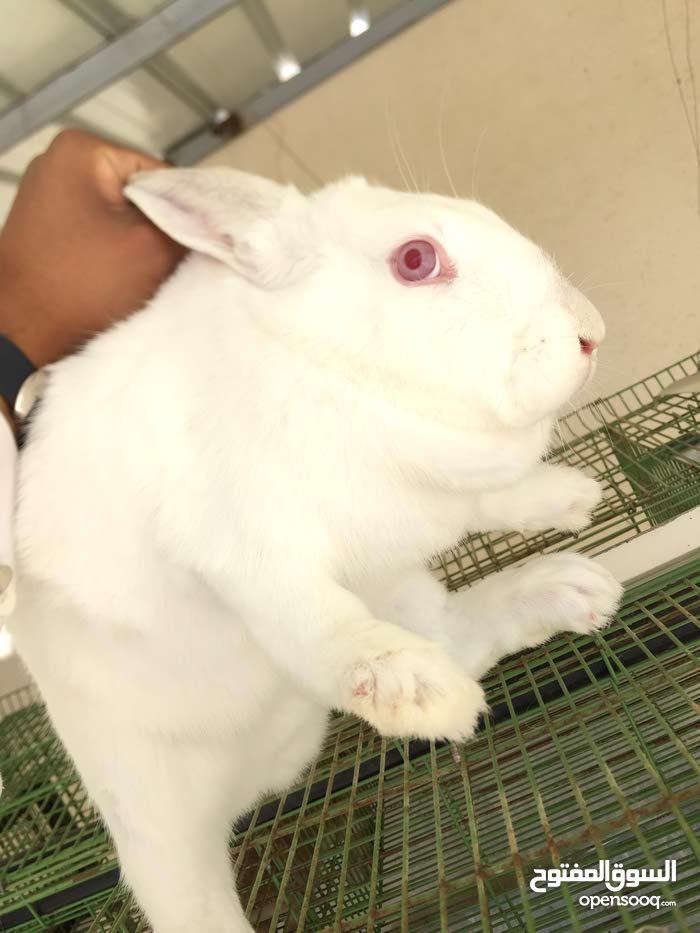 ارانب للبيع تربية بطاريات صحة وحجم ماشاء الله