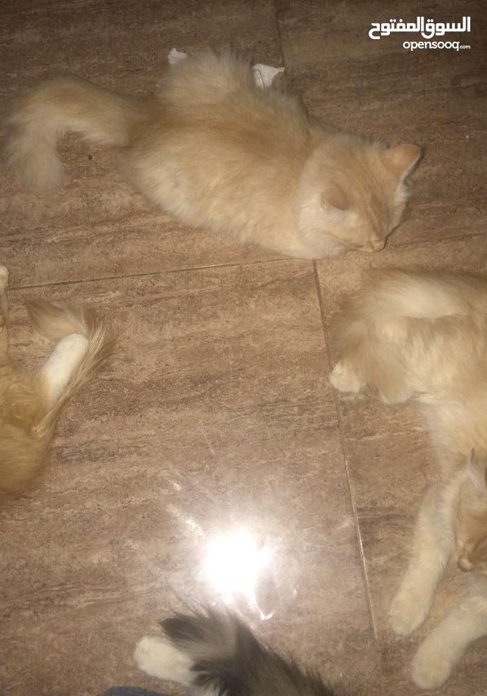 قطط عمر3 اشهر للبيع