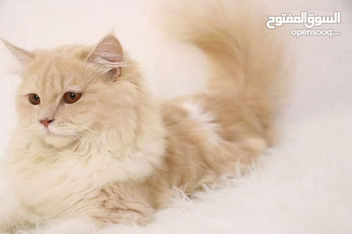قطط ذكور للبيع . ميزتهم قصار وما يبين عليهم العمر