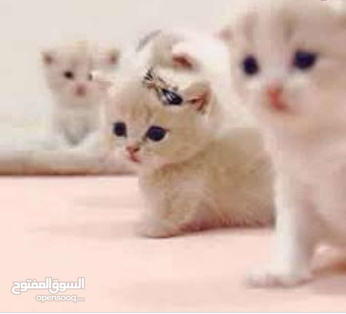 مطلوب قطه صغيره
