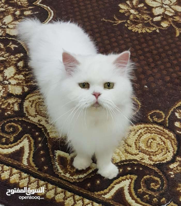 قطط منتجة شيراذية عمر سنة و3 شهور
