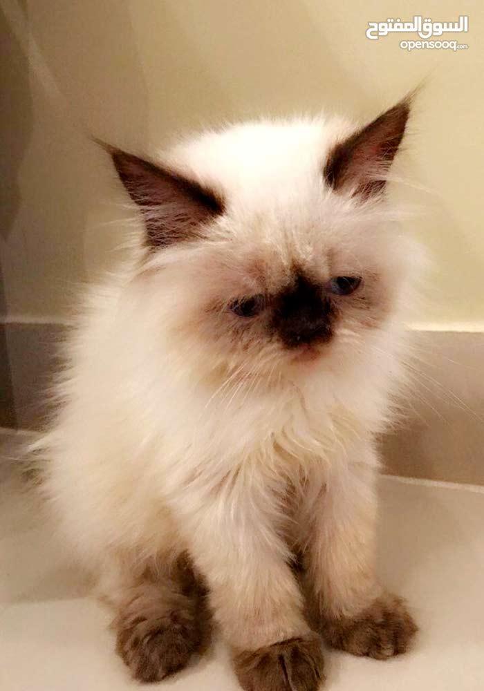 قط هملايا تشوكلت العمر شهرين بصحه ممتازه