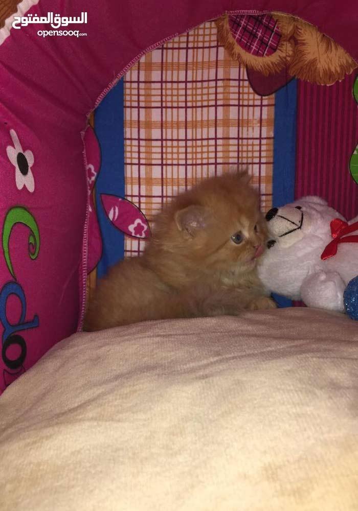 قط شيرازي عمره 40 يوم