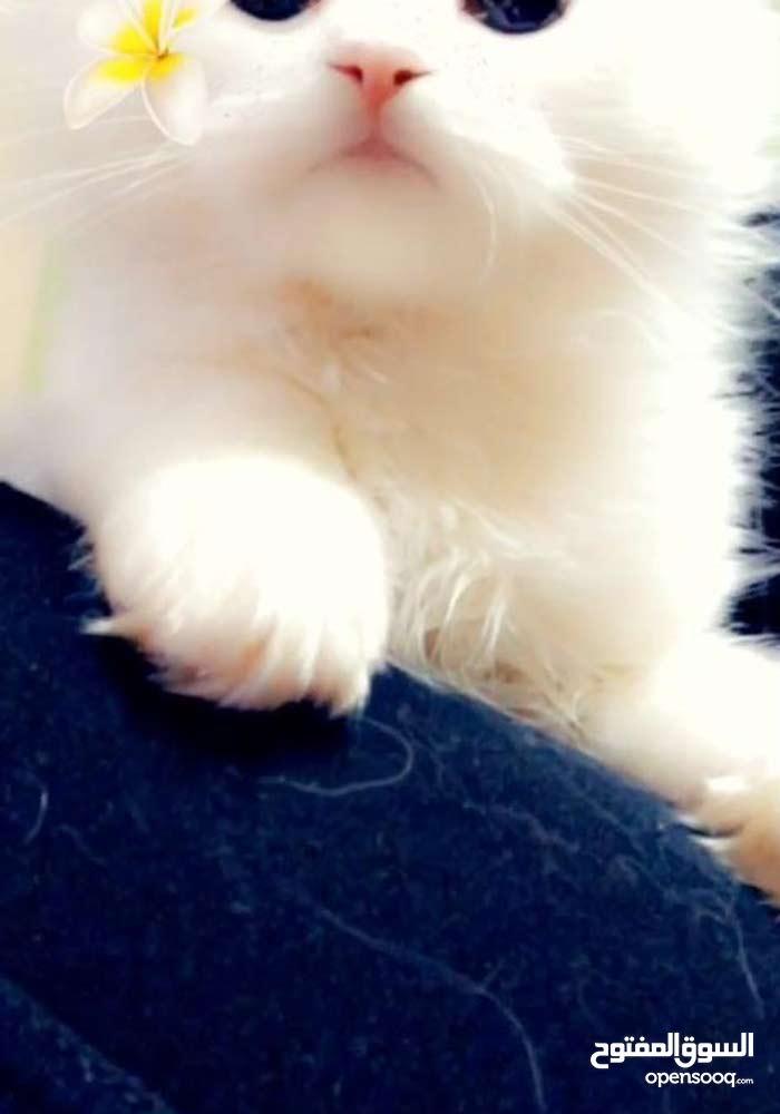قطط شيرازية العمر 8 شهور