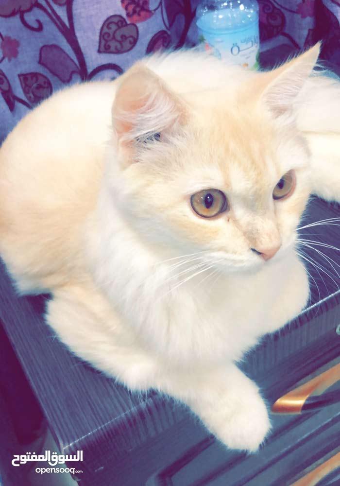 للبيع قطط شيرازية الاسعار مغريه