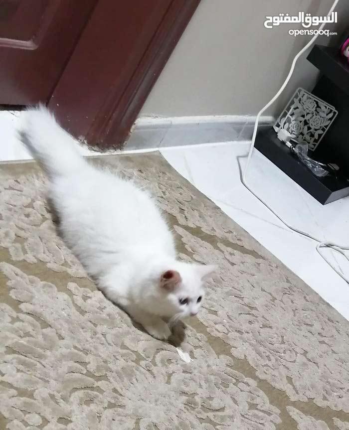 Persian beautiful  male cat