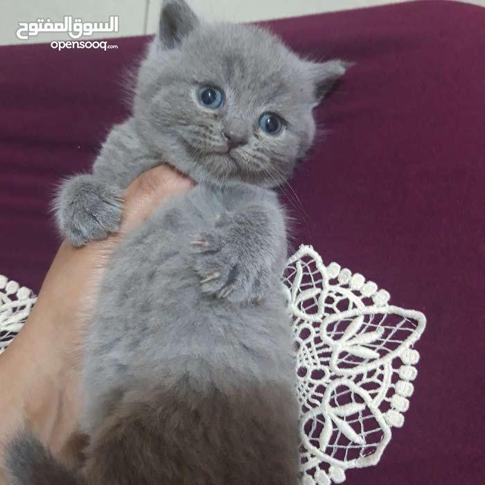 british short blue kitten for sale!