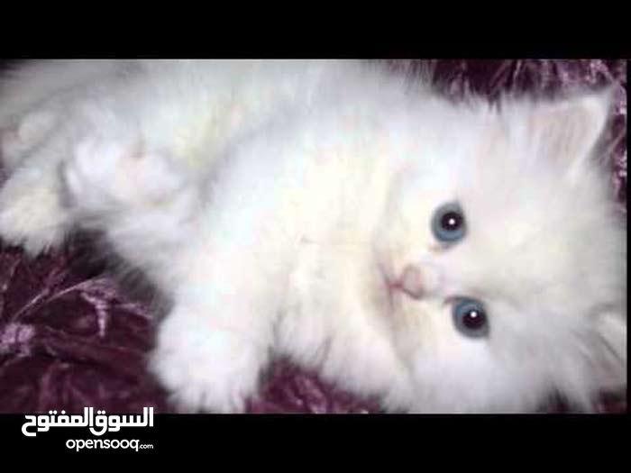 قطة شيرازية عمر شهرين لون أبيض للبيع