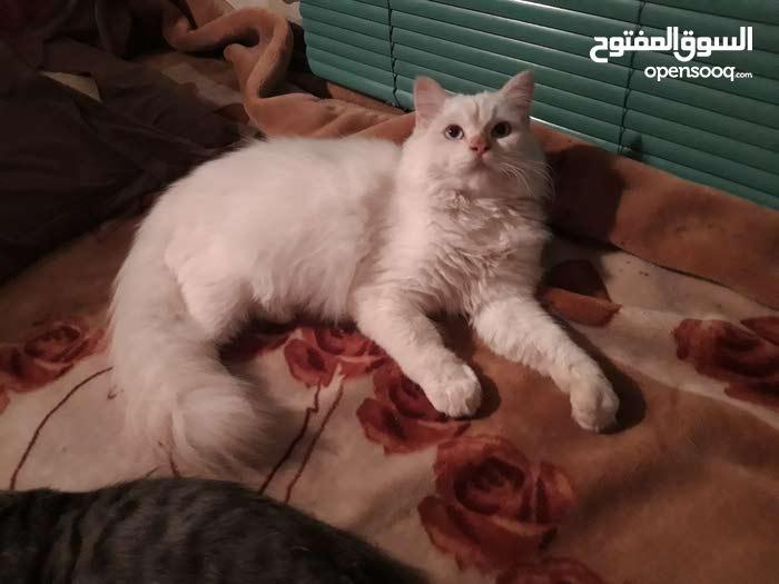 قطوس فارسي ذكر اصلي