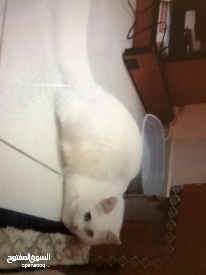 قطه شيرازي بيضاء