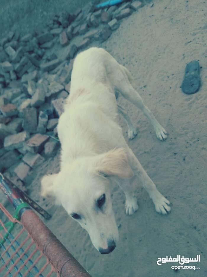 كلب حراسة مدرب
