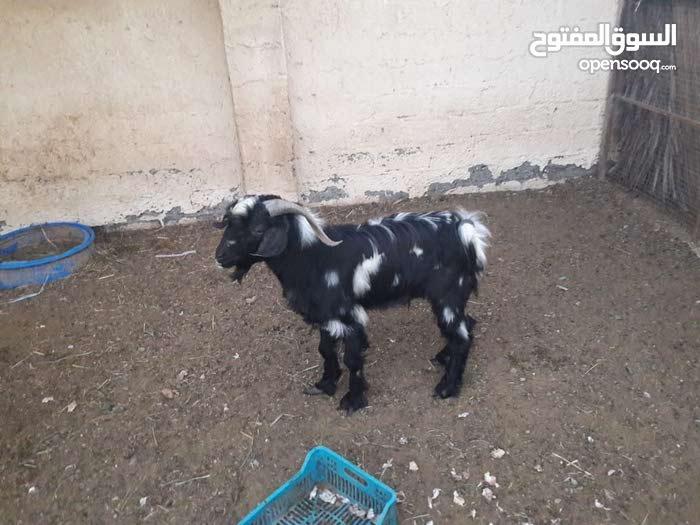 تيس عماني اسود وابيض فحل