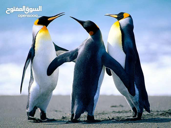 حيوان ليس بالحيوان انة البطريق لكن ليس للبيع