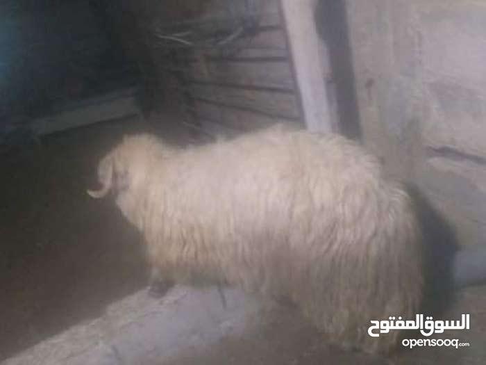 خرفان اكباش سن حليب
