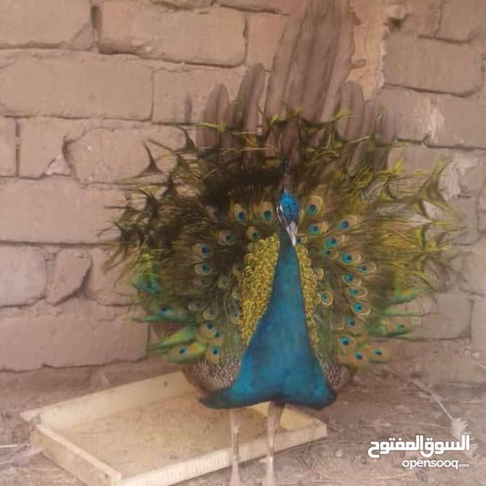 طاووس ذكر الليع