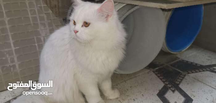 قطط شيرازيه للبيع ذكر وانثى اعمارهم بين 5الى7شهور
