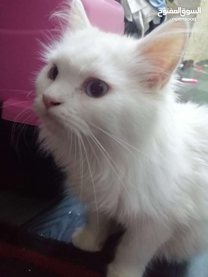 Turkish angora kitten for sale