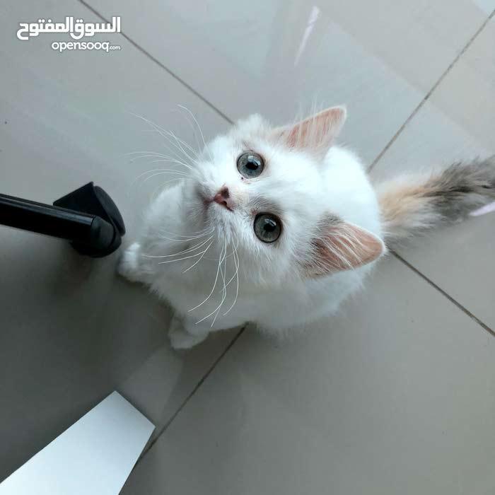 قطة شيرازية ، 4 اشهر كاملة التطعيم مع ملحقاتها السعر قابل للتفاوض
