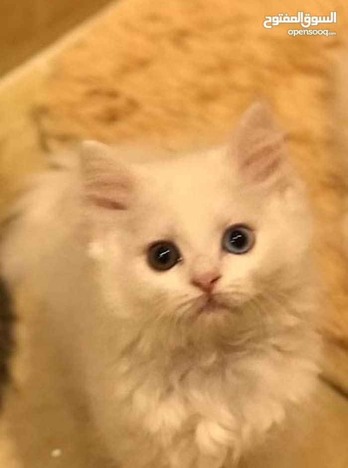 قطة انثي للبيع شيرازي مأخذة تطعيمات ومتعوضة علي ليتربوكس واكل