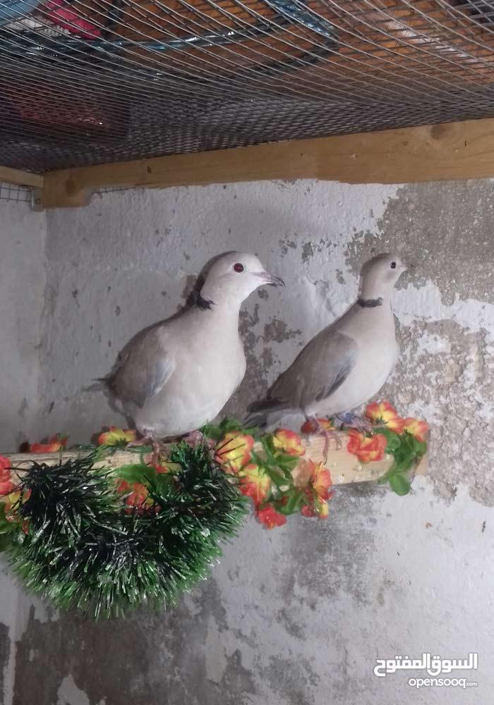 طيور للبيع اربع ازواج