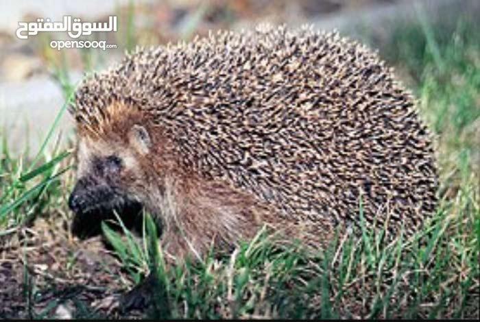قنفذ عمان سحاب