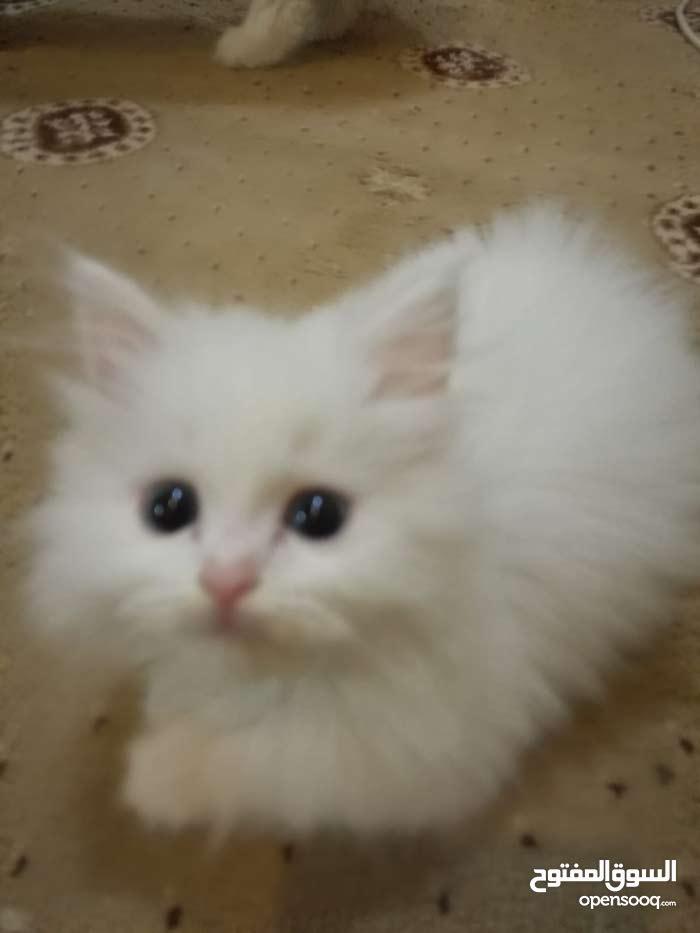 للبيع قطط صغيره شيرازي