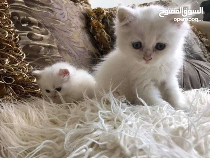 Pure white and blue eyes male persian cats available.