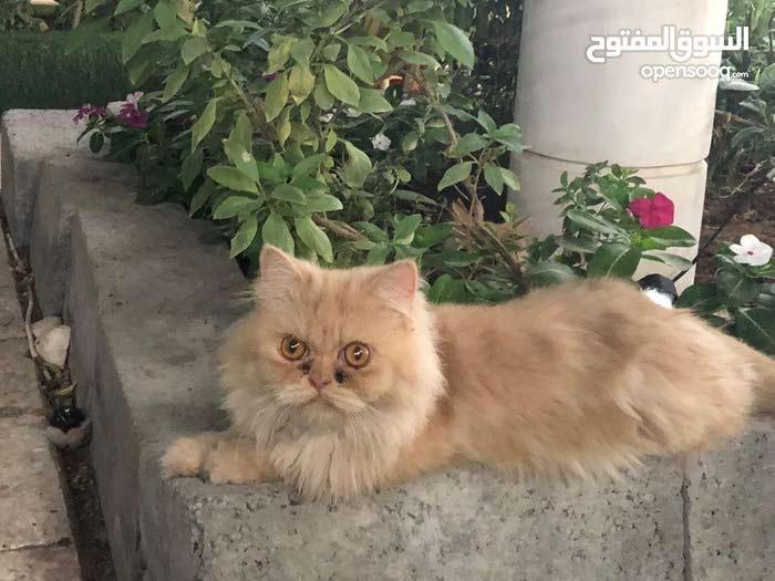 قطة هاف بيكي مستوى توب ومنتجة