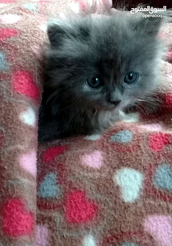 قطط صغيره للبيع تركي شيرازي