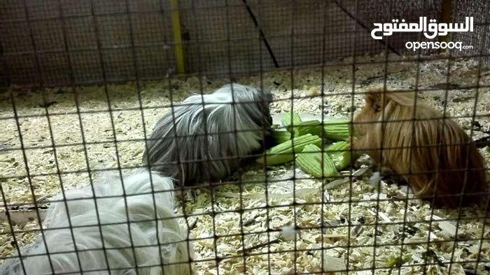 ارانب غينية نوعية نادرة ذات شعر كثيف العدد 5 نثاية3 ذكور 2