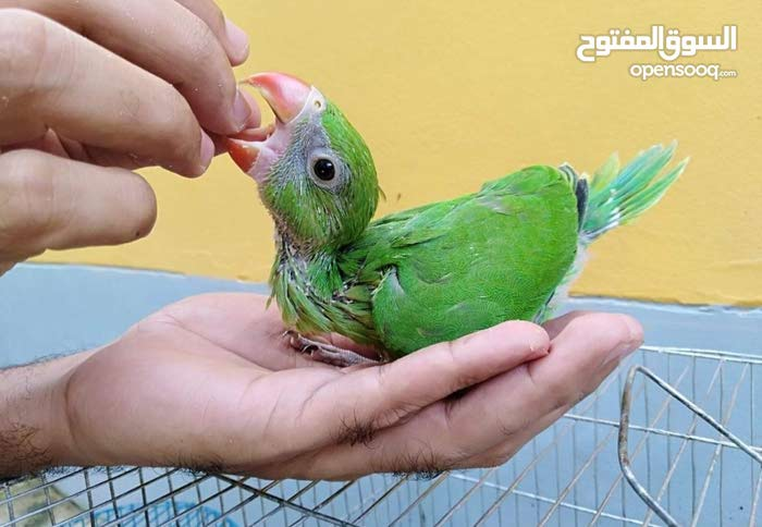 Need indian ringneck parrot chicks