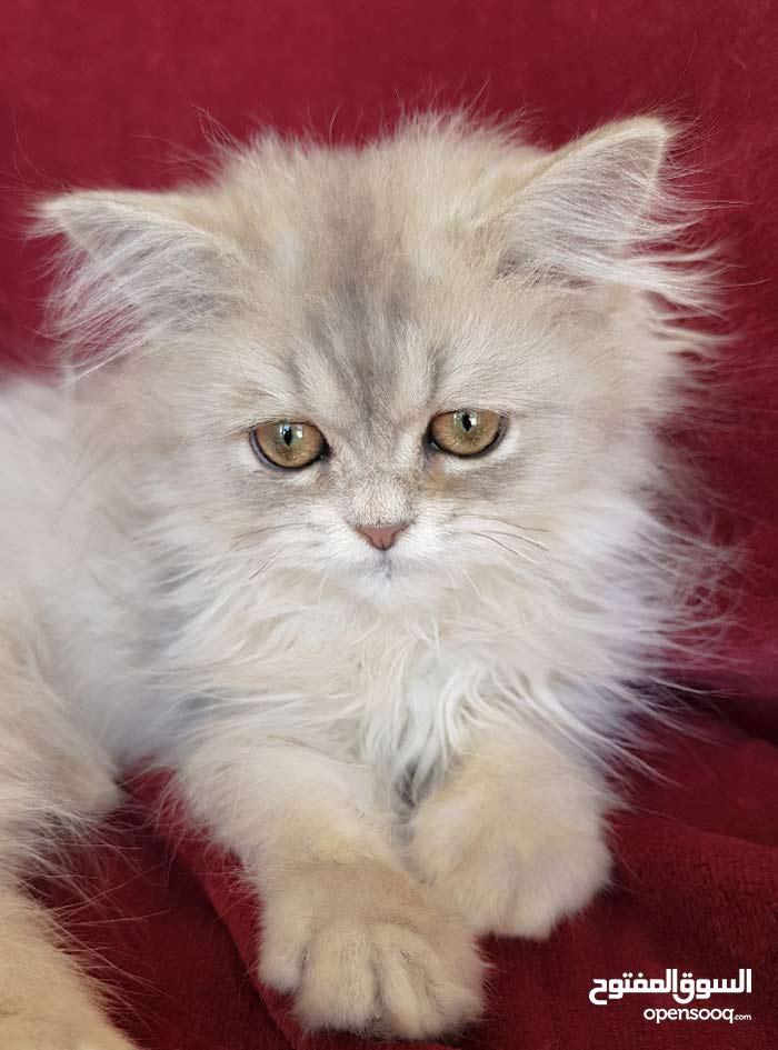 قطط شانشيلا سيلفر بلاك مميز