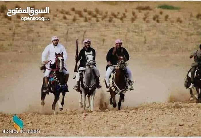 مدرب خيول مغربي