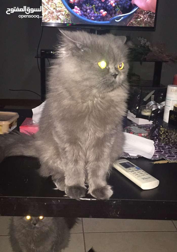 Cherazi cat for Sales/  قط شيرازي للبيع