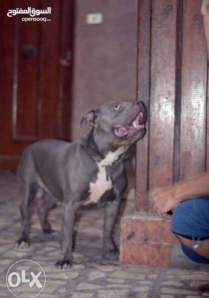 pitbull dog for sale