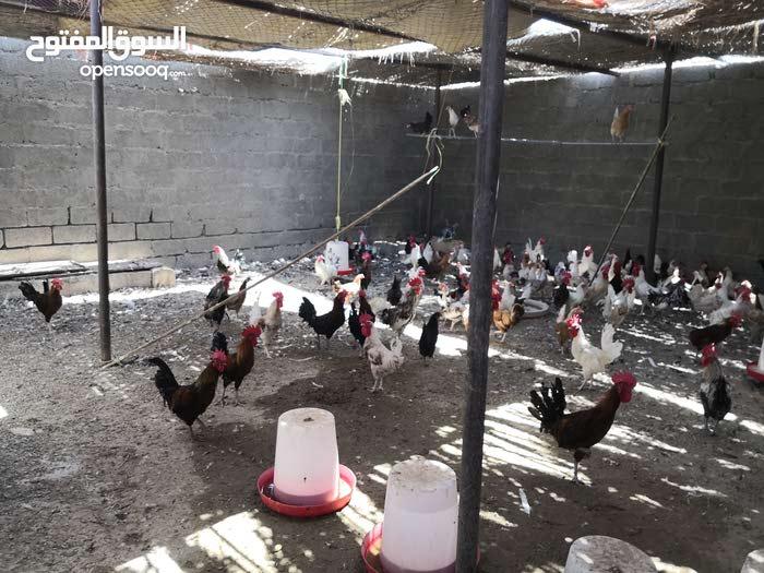 دجاج عماني بياض مع ديوك