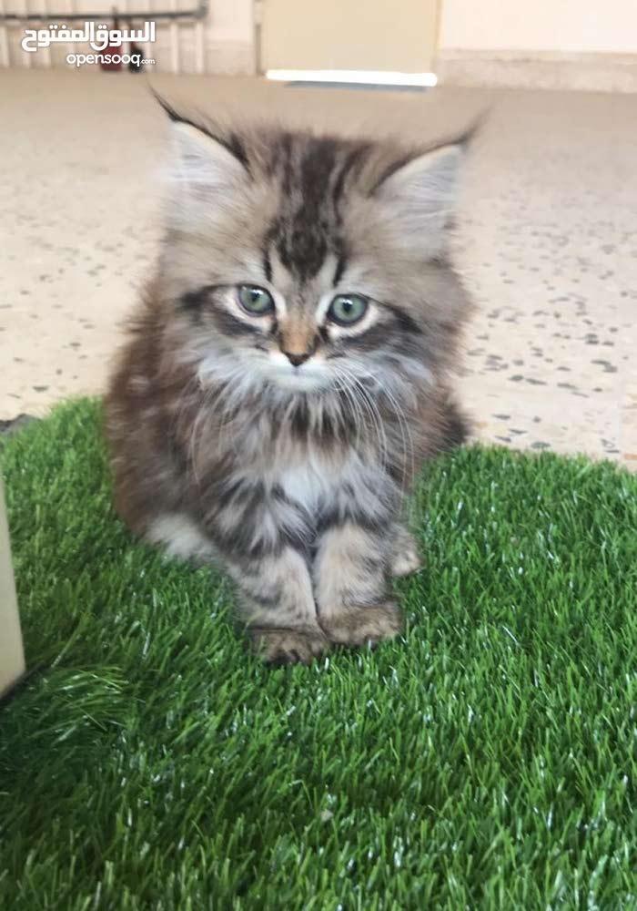 ثلاث قطط شيرازي بجوازات سفر