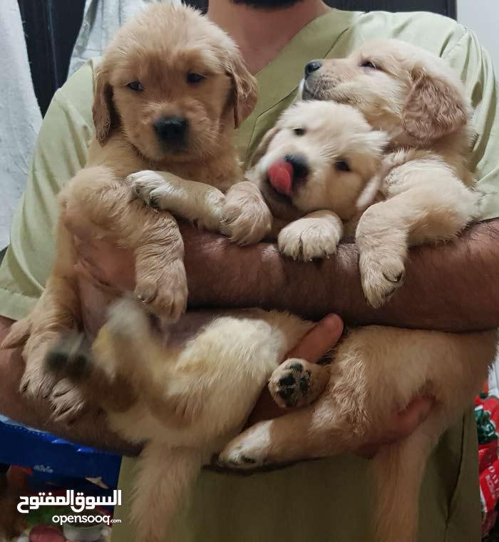 golden retriever puppies 49 days