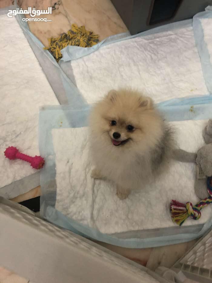 Pure Pomeranian Dog