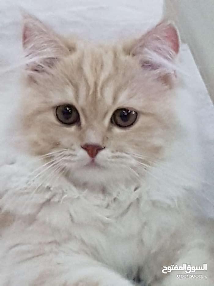 قطة شيرازية للبيع (قابل للتفاوض)